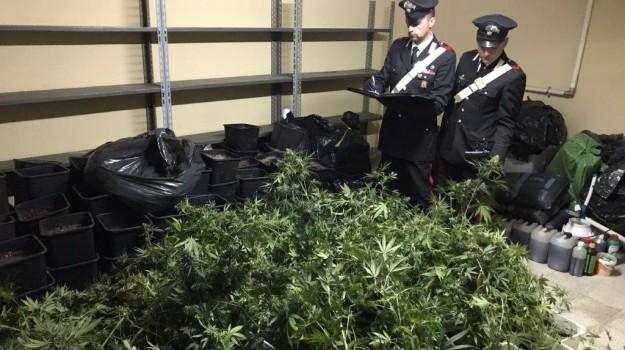 marijuana, piantagione, Zen, Palermo, Cronaca