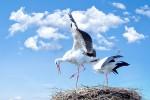 Cicogna Days, eventi anche in Sicilia per vedere da vicino la nidificazione