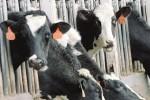 Tubercolosi bovina a Enna, allarme rientrato: dissequestrati capi di bestiame