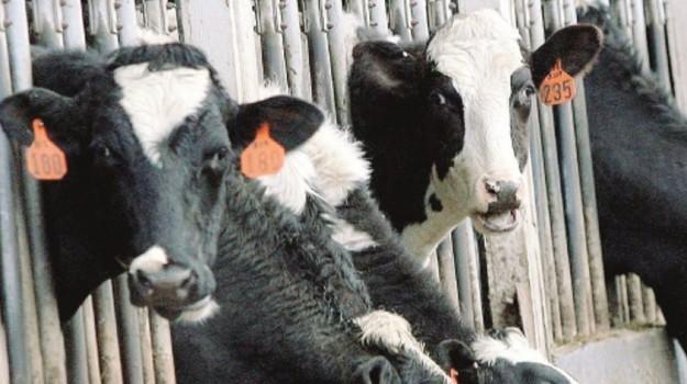 tubercolosi bovina, Enna, Cronaca