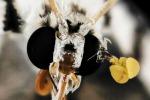 Gli occhi di una falena (fonte: Sam Droege)