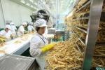 La lavorazione della radice del ginseng in uno stabilimento coreano