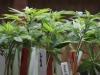 Cannabis terapeutica, farmaco gratis in Sicilia: chi può averlo e come