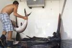Pesce spada,verso nuove regole di cattura ma mancano quote