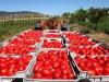 Regione Puglia dice no a Igp Pomodoro pelato di Napoli