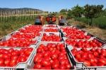 Siccità: Regione E-R sostiene produzione pomodoro industria