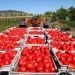 Regione Puglia dice 'no' a Igp 'Pomodoro pelato di Napoli'