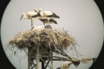 Sambuca, il lago Arancio diventa la casa delle cicogne bianche