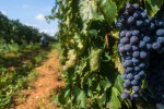 Vitigni autoctoni, Cracolici: sono il futuro del vino siciliano
