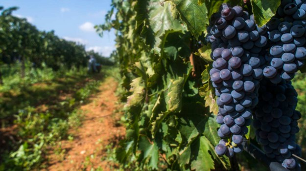 vino siciliano, vitigni autoctoni, Antonello Cracolici, Sicilia, Economia