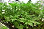 Apre a Milano primo negozio che vende talee cannabis