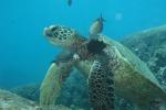 E' di una tartaruga la prima pelle di rettile ricostruita in laboratorio (fonte: Thierry Work, USGS)