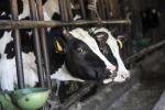 Mucche denutrite in Romagna, parte campagna crowdfunding