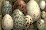 La forma delle uova dipende dal modo in cui gli uccelli volano (fonte: Swaysland, W.)
