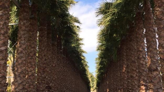 coldiretti, palme, piante, punteruolo rosso, Sicilia, Economia