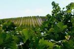 Vino: Consorzio Doc Sicilia, 182 aziende fanno 'sistema'