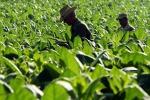 Philip Morris investe 80 mln euro su tabacco italiano