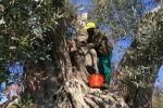 Ue, Italia faccia di più nell'abbattere ulivi infetti da Xylella