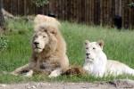 E' morto il leone bianco più vecchio d'Europa: aveva quasi 15 anni