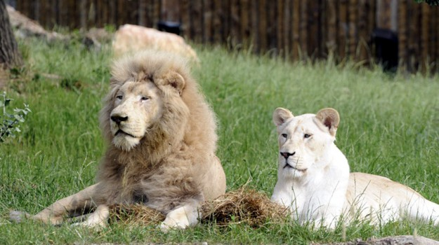 il leone più vecchio d'europa, quasi 15 anni, Sicilia, Società