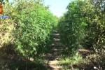 Piantagione di marijuana tra gli agrumi: arrestato un 39enne a Palagonia