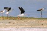 Il Cavaliere d'Italia sceglie Mazara: nidi nella laguna di Tonnarella