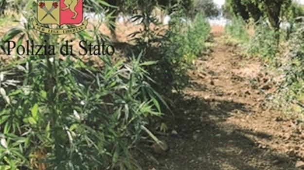 piantagione marijuana centuripe, Enna, Cronaca