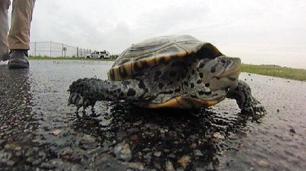 tartarughe in pista, Sicilia, Mondo