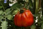 Parma e Collecchio celebrano il pomodoro