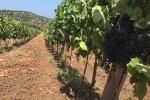Furnari riscopre il Nocera, il vitigno amato anche da Giulio Cesare