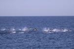 I delfini sono cacciatori notturni, lo scoprono i fisici
