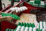 Uova contaminate:fermo cautelativo 3 lotti in Emilia-Romagna