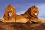 """Allarme per il """"re della foresta"""", leoni quasi dimezzati in 20 anni"""