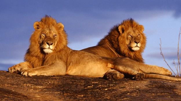 il re della foresta, leoni, Sicilia, Società