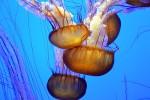 Saltate in padella o marinate: anche in Italia le meduse si potranno... mangiare