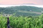 Nocera, il vino preferito di Cesare: a Furnari si riscopre l'antico vitigno