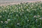 Dalle piante una 'fabbrica' di vaccino antipolio