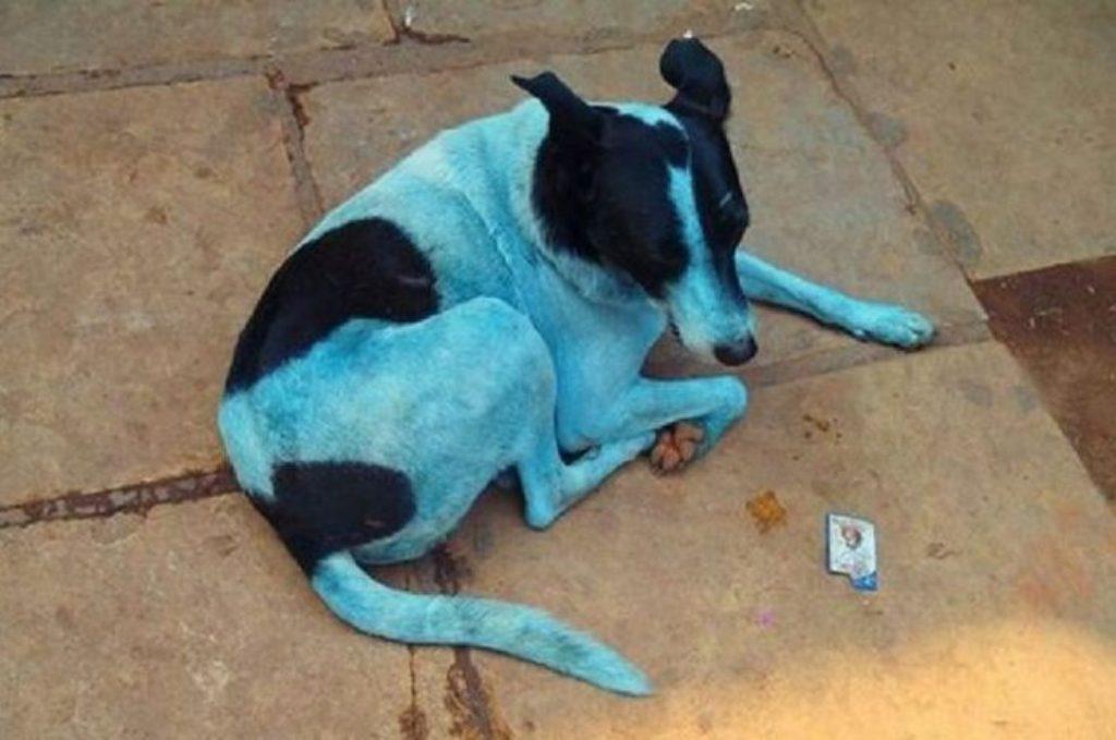 Cani azzurri a mumbai dopo il bagno in un fiume inquinato giornale di sicilia - Bagno cane dopo antipulci ...
