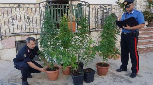 droga, piantagione cannabis, Palermo, Cronaca