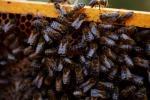 Efsa conferma rischi, tre pesticidi nocivi per api
