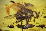 Trovato nell'ambra l'antenato delle mosche, ha 17 mln di anni