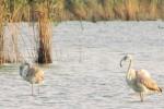 Scoperti fenicotteri nella riserva di Pergusa