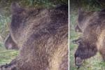 Abbattuta l'orsa KJ2 in Trentino: aveva ferito un escursionista