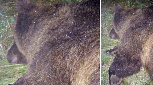 orsa abbattuta trentino, Sicilia, Società