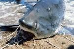 Squalo volpe di 200 chili pescato in Calabria