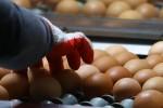 Focolaio di salmonella a Motta Sant'Anastasia, oltre 10 mila galline da abbattere