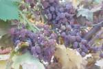 Caldo e siccità flagellano le campagne: agricoltura siciliana in ginocchio