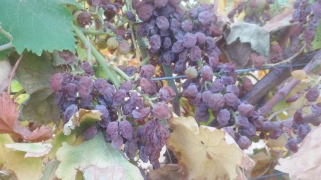 agricoltura sicilia, campagne siciliane, coldiretti sicilia, Sicilia, Economia