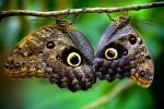 Le ali di farfalla capolavoro di un gene 'pittore'