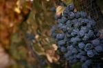 Big del vino, preoccupati per clima ma qualità vendemmia ok